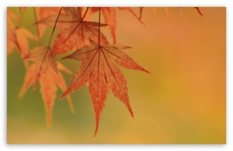 japanese_maple_leaves_fall_colors-t2